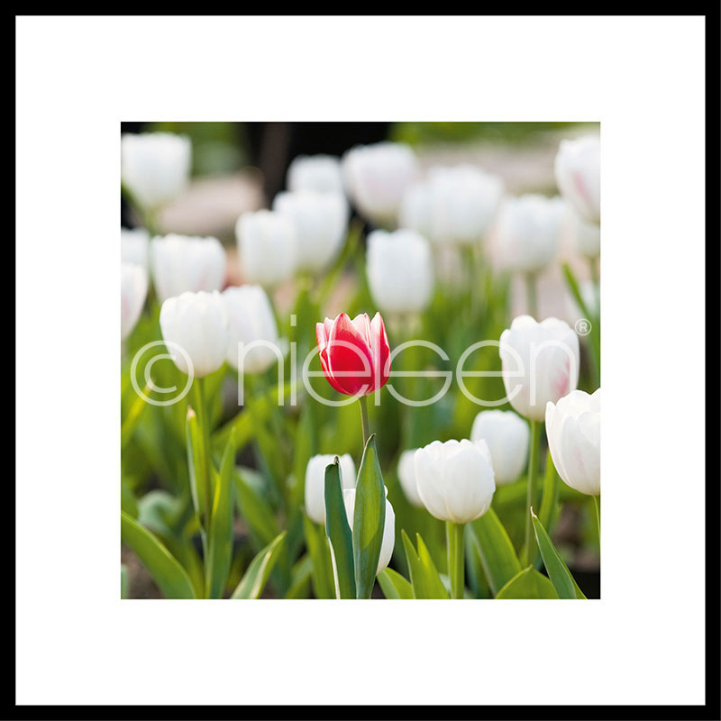 """Imagen con marco """"Tulips"""" con marco de alumino C2"""