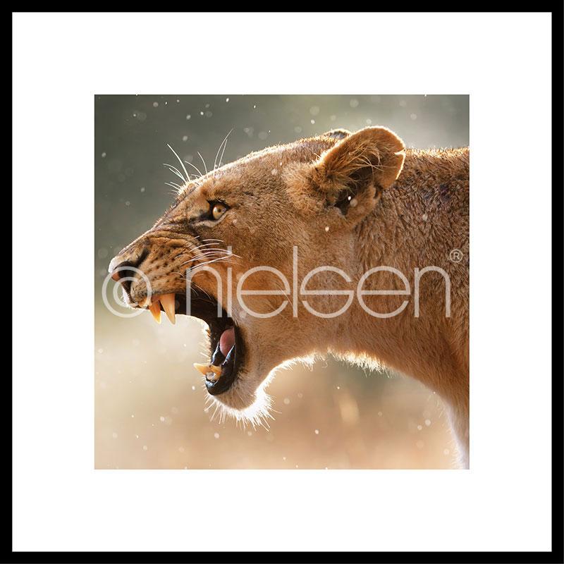 """Imagen con marco """"Lioness"""" con marco de alumino C2"""