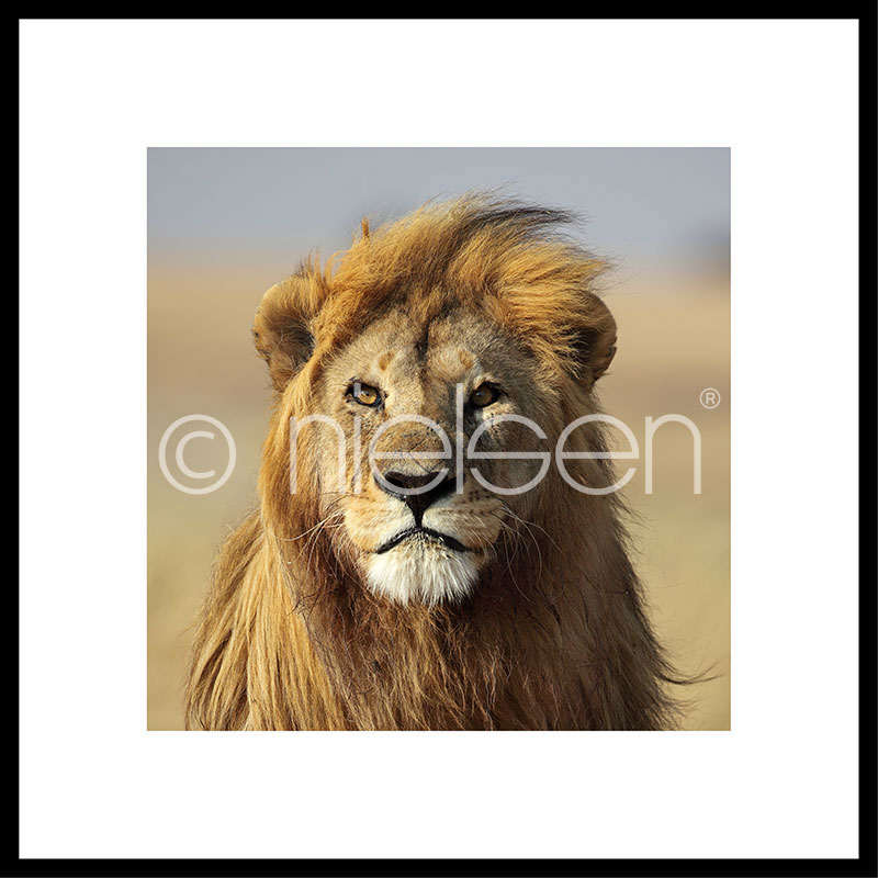 "Imagen con marco ""Lion"" con marco de alumino C2"