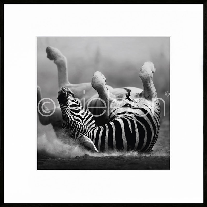 "Imagen con marco ""Zebra lying"" con marco de alumino C2"