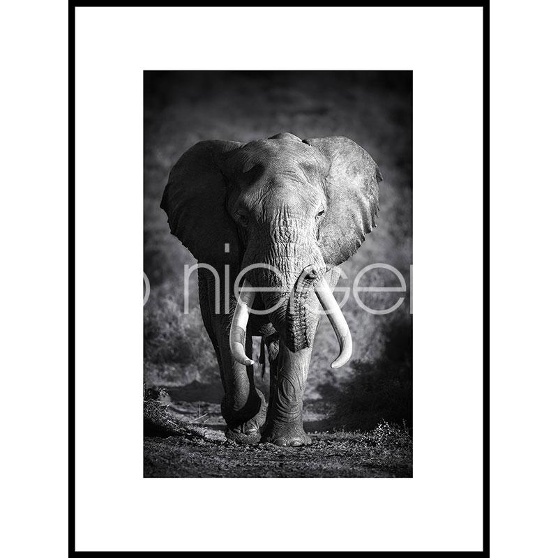 "Imagen con marco ""Elephant black and white"" con marco de alumino C2"
